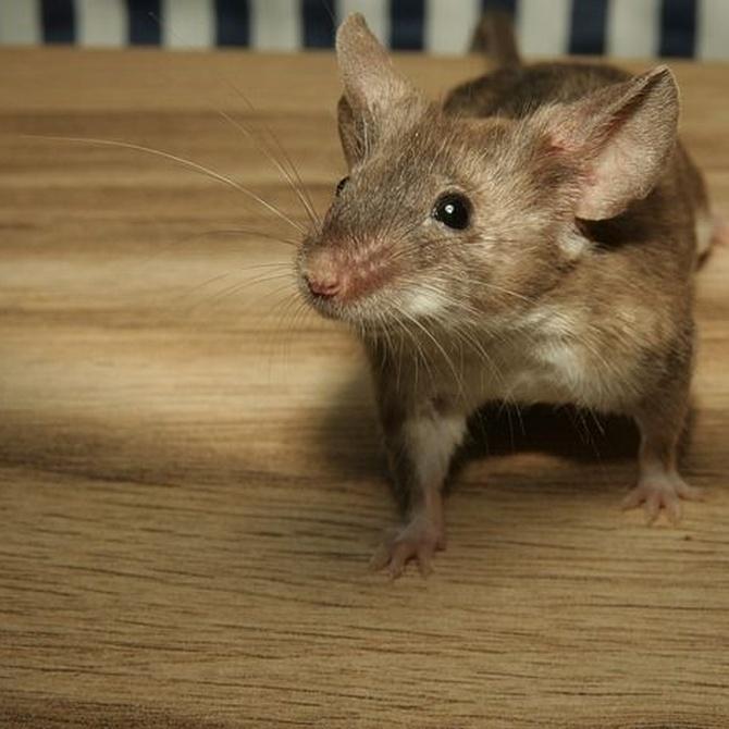 Cómo detectar si tenemos ratas