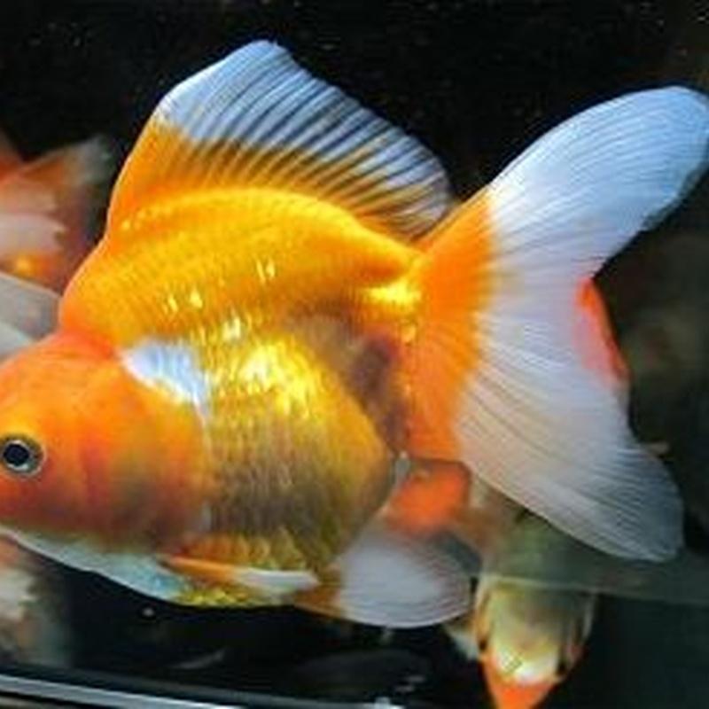 Oranda ryukin bicolor.