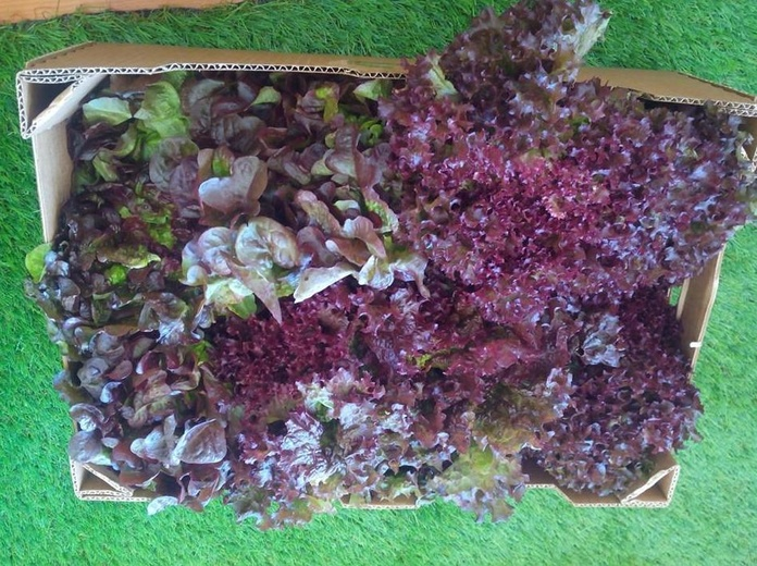 Lechugas ecológicas: Productos de Mizona Ecológica