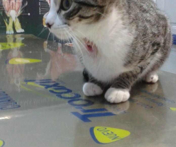 Cuando estés cosiendo cuidado con tu gato. Esta gatita se tragó una aguja y le salió por la garganta. Si hubiera llegado al pecho podría haber acabado con su vida.