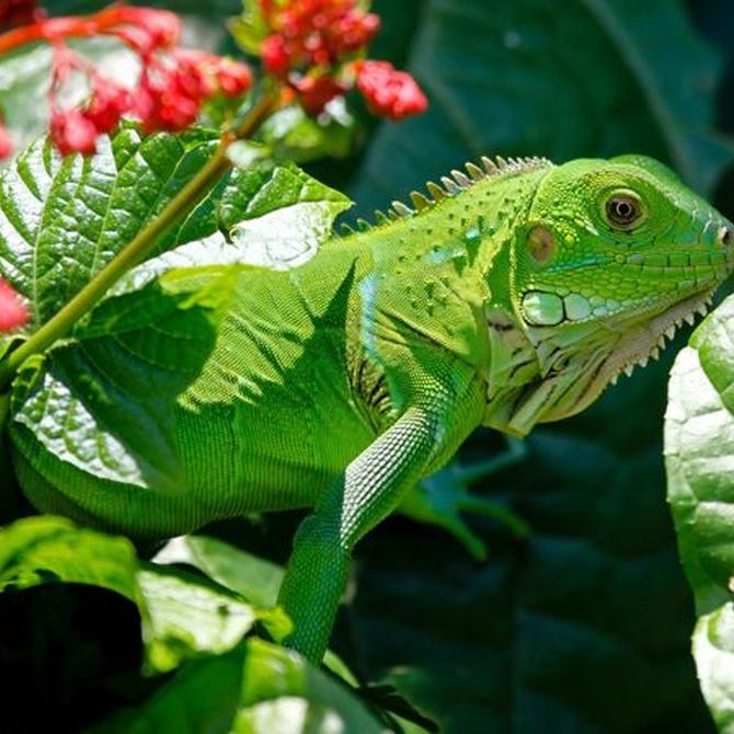 Recomendaciones para el cuidado de iguanas