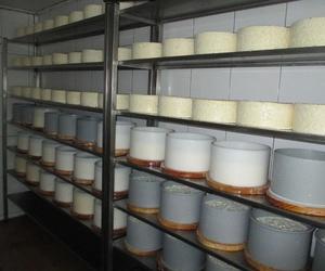 Elaboración de queso artesano cabrales en Asturias