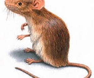 Denuncian una plaga de ratas en Boadilla y el Ayuntamiento lo niega