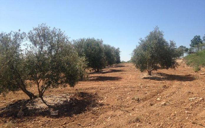Venta de olivar joven 256 olivos: Inmuebles de Inmobiliaria Minerva
