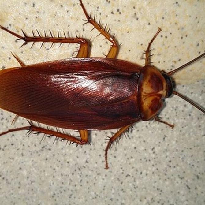 Cómo saber si tienes una plaga de cucarachas