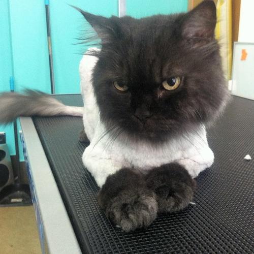 Narval Mascotas |Peluquería para gatos |Siamés de pelo largo