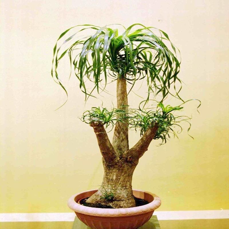 Beucarnea