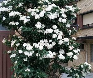 Muestra sus flores el durillo (Viburnun tinus). Este ejemplar en la terraza del Burladero bar.