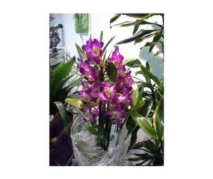 Orquídea dedrobium