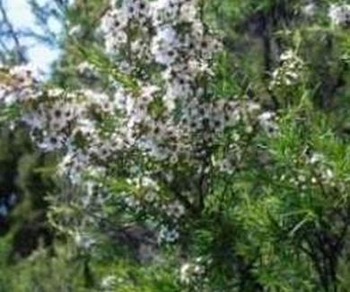 ÁRBOL DEL TÉ Ref. 6 ( Plantas medicinales )