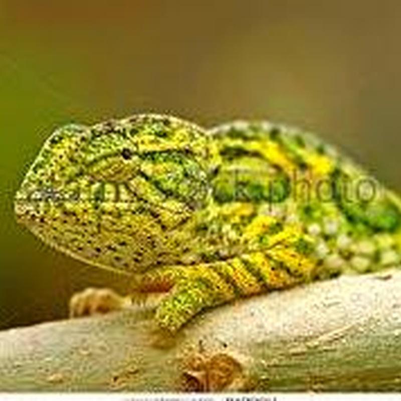 Camaleón Furcifer Lateralis: Catálogo de Reptil Parc