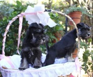 Cachorros de fox terrier en Paracuellos del Jarama