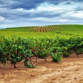 Plantación de viñas y viñedos