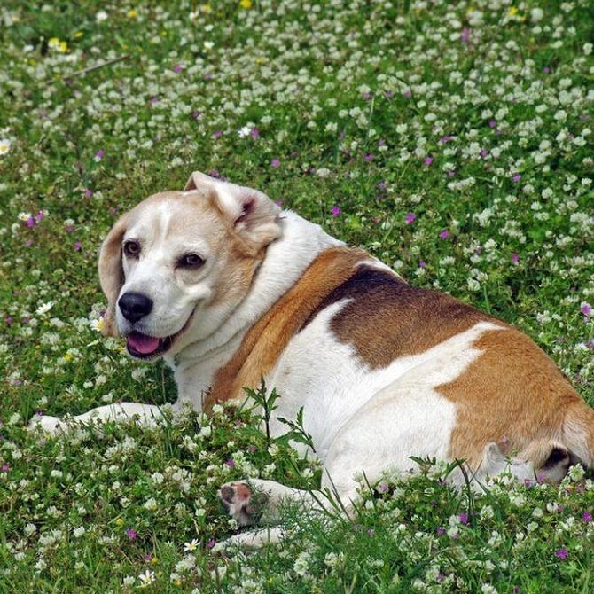 La higiene auditiva en los perros