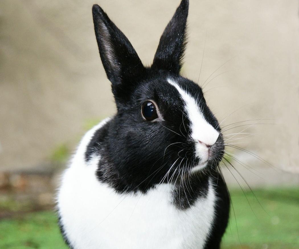 ¿Por qué esterilizar a mi conejo?