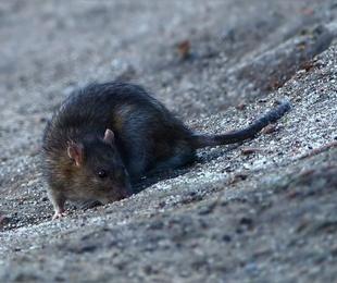 Los roedores y su potencial peligro de enfermedades contagiosas