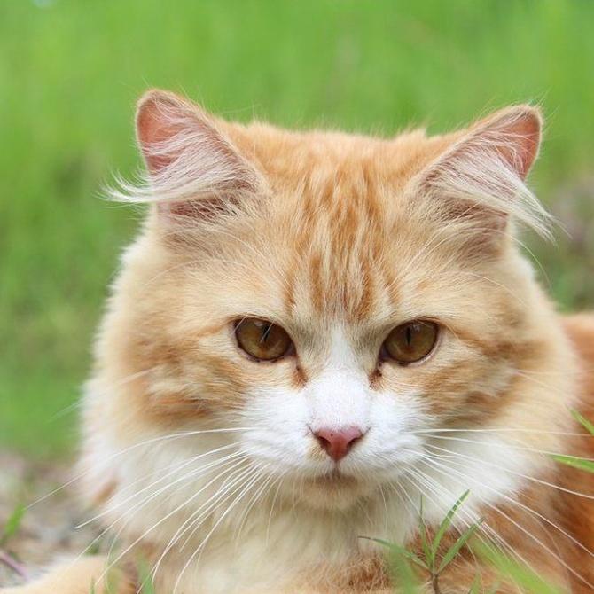 El celo de las gatas