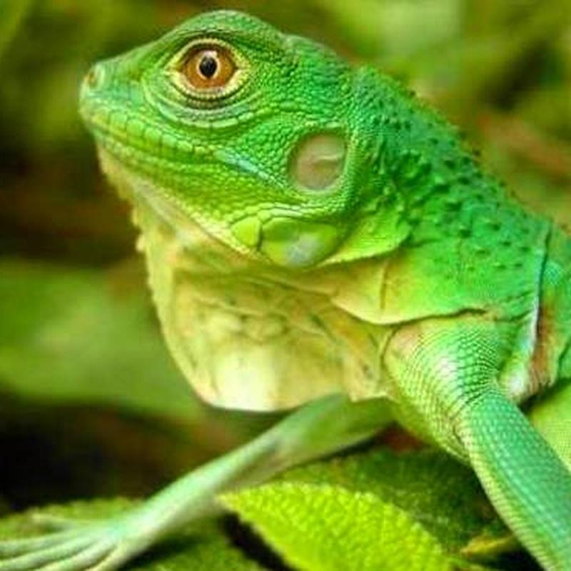 Iguana Iguana : Catálogo de Reptil Parc