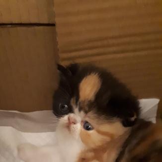 Gatos persas oviedo