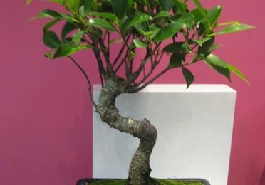 Ficus de 5 años