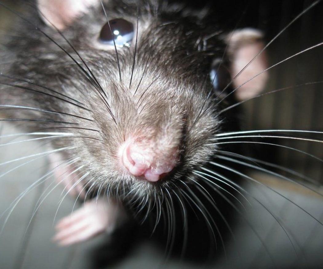 El peligro de las plagas de ratas