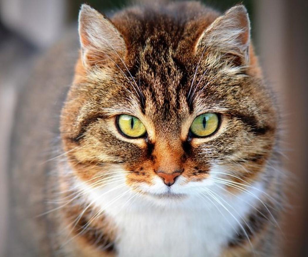 ¿Cuáles son las enfermedades más típicas en los gatos?