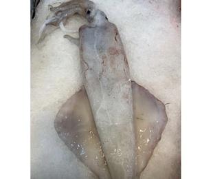 Calamares frescos en diferentes tamaños