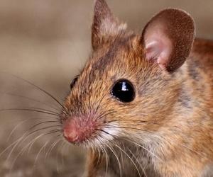 control de ratas y ratones Móstoles