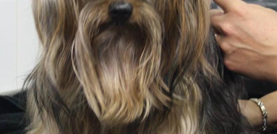 Asesoramiento estético para perros en Alella
