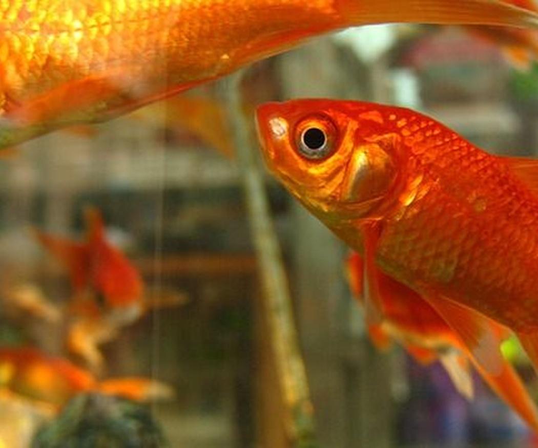 ¿Qué cuidados necesitan los peces de acuario?