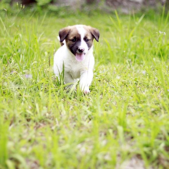 ¿Cuándo sacar al cachorro de paseo por primera vez?