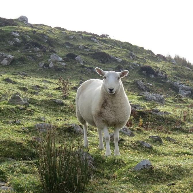Qué usos y características posee la tripa natural de ovino