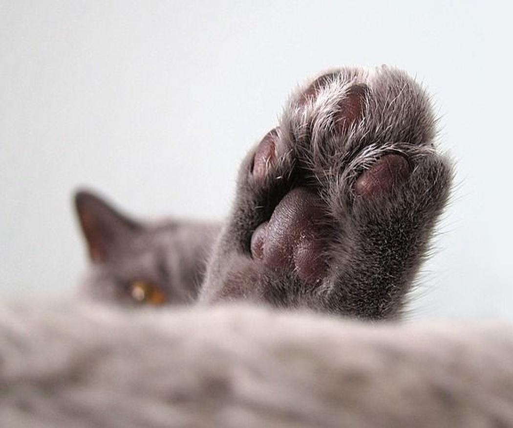 ¿Se deben cortar las uñas de un gato?