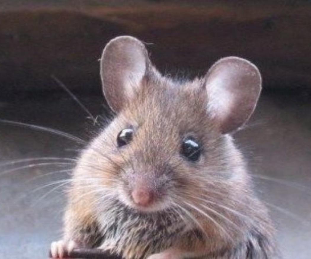 ¿Qué atrae a los roedores?