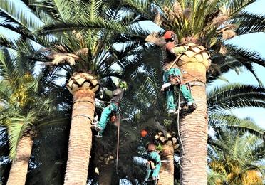 Poda de árboles ornamentales y palmeras