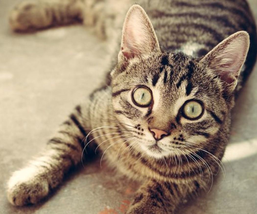 Cuándo vacunar a mi gato