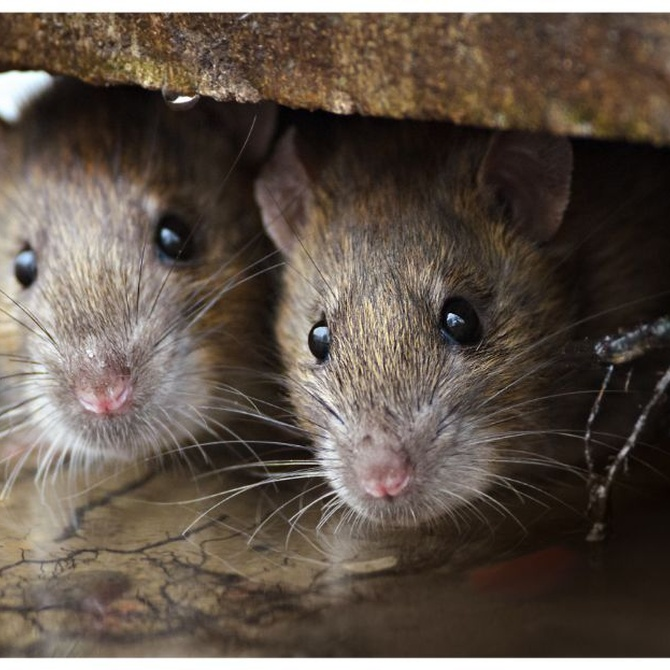 Cómo se reproducen las ratas