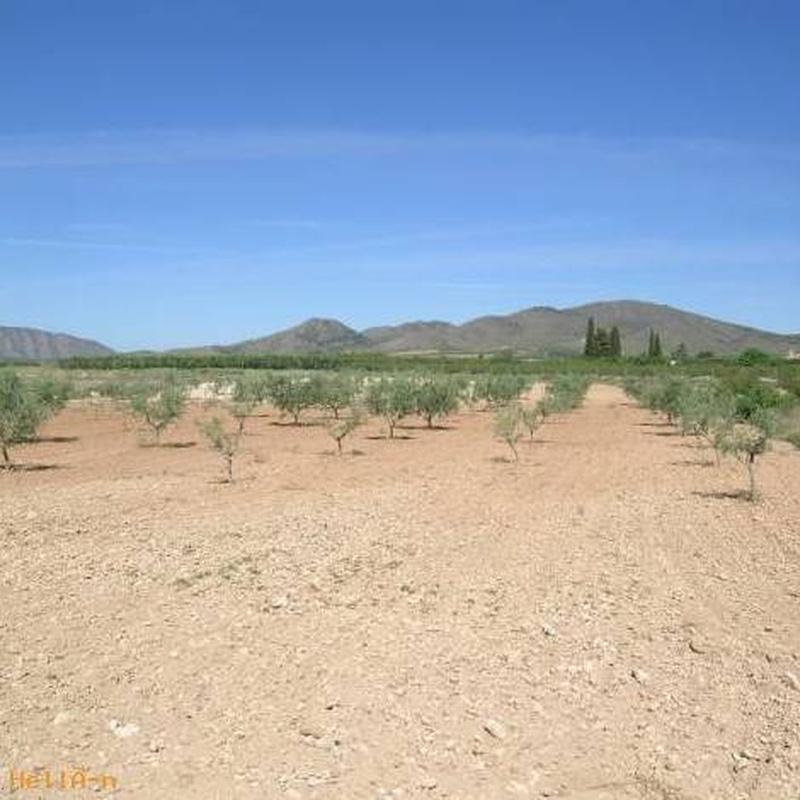 Terreno con oliveras de 6000 metros cuadrados : Compra y alquiler de Servicasa Servicios Inmobiliarios