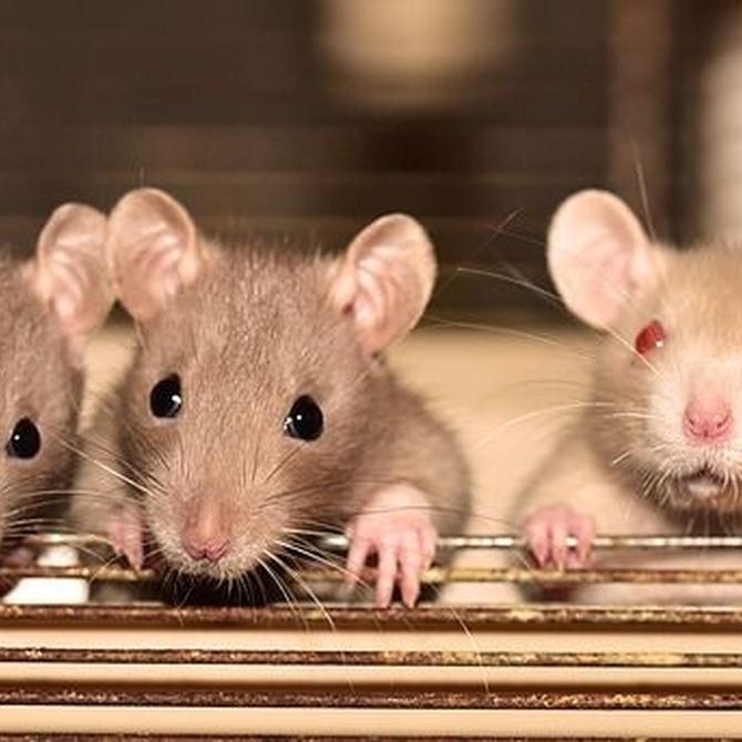 Curiosidades: la leyenda del Rey de las ratas