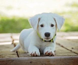 Las vacunas que necesita tu perro
