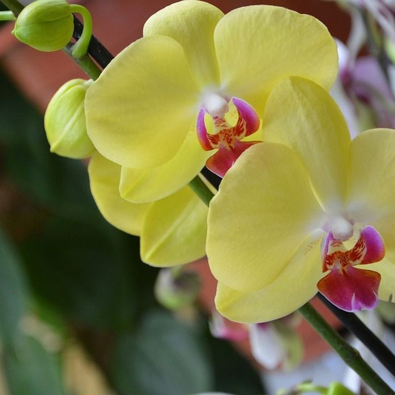 Orquídeas: TIENDA ONLINE Y CATÁLOGO de Floristería y Regalos Caprichos Parla