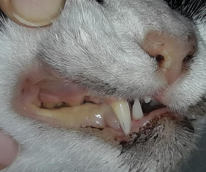 Esta gatita tiene una grave enfermedad que le afecta al hígado. Ya tiene ictericia (está amarilla). Cuando un gato ya está amarillo tiene bastantes menos posibilidades de curarse.