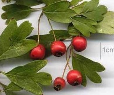 Acerola  Ref. 1 FRUTAES