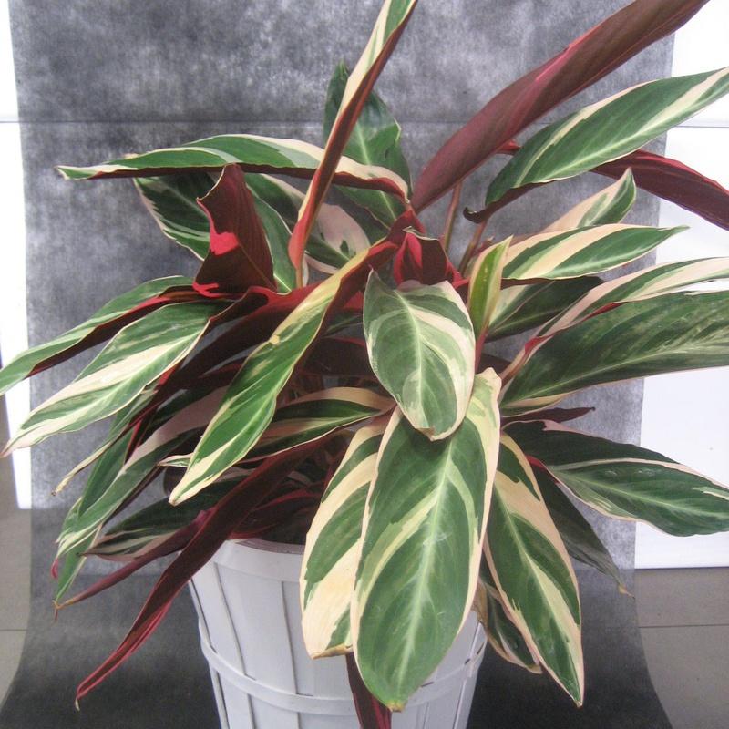 Calathea Triostar: Nuestras flores de Bouquet Flores y Plantas