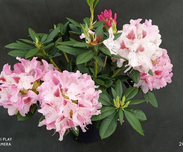 Rhododendro