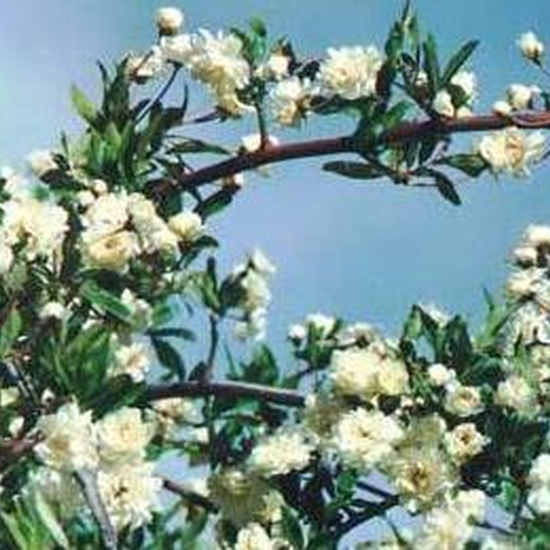 Rosal de Banksia