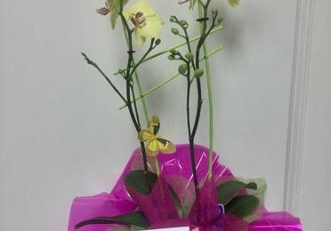 Orquídea preparada con maceta
