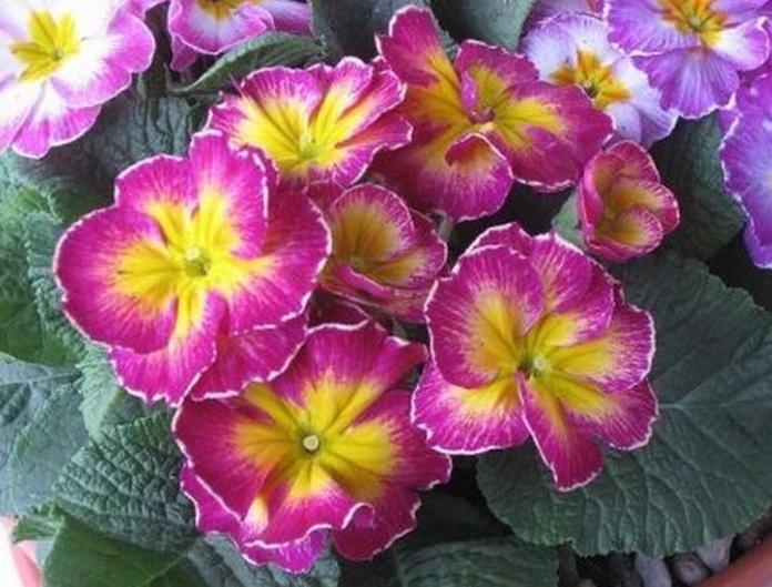 Prímulas: Catálogo de De La Hoz Plantas y Flores