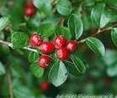 Cotoneaster divaricatus Ref. 13 ( Arbusto )