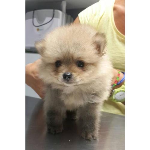 Cachorro de Pomerania en su primera vacuna